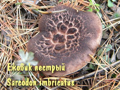 грибы медвежьи ушки фото
