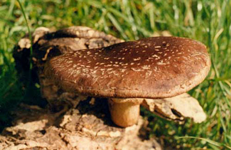 Закладки по теме шиитаке гриб