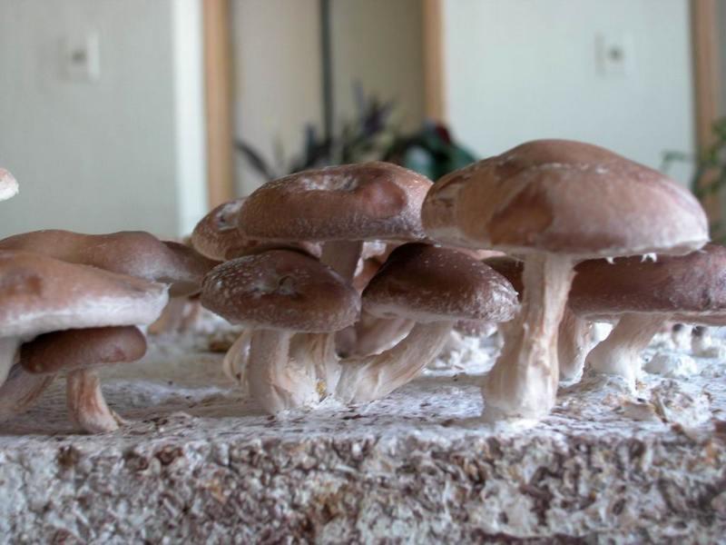 Порошкообразные грибы улучшают здоровье сердца