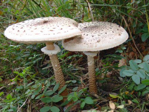 съедобные грибы зонтики как готовить