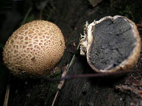 как выглядят грибы дождевики фото
